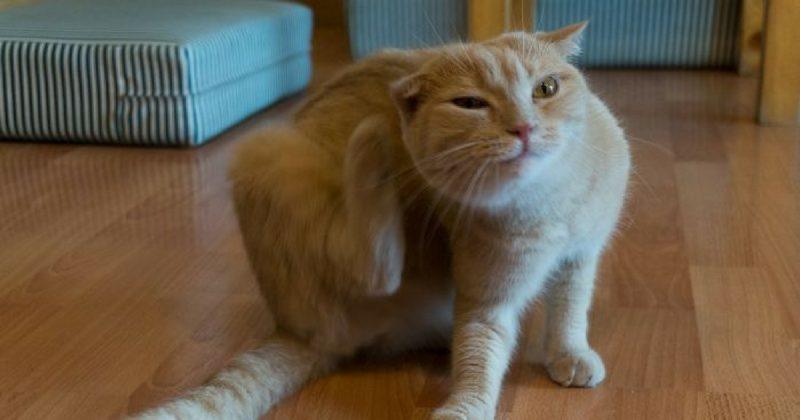 Rawat Masalah Kutu Pada Kucing Dengan Semburan Bahan Ni Mudahnya Keluarga